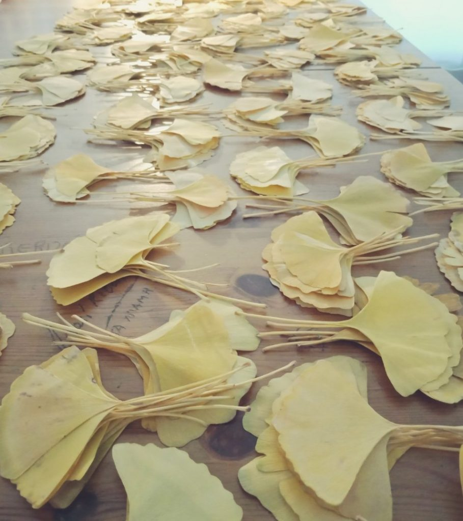 cleaning Ginkgo leaves
