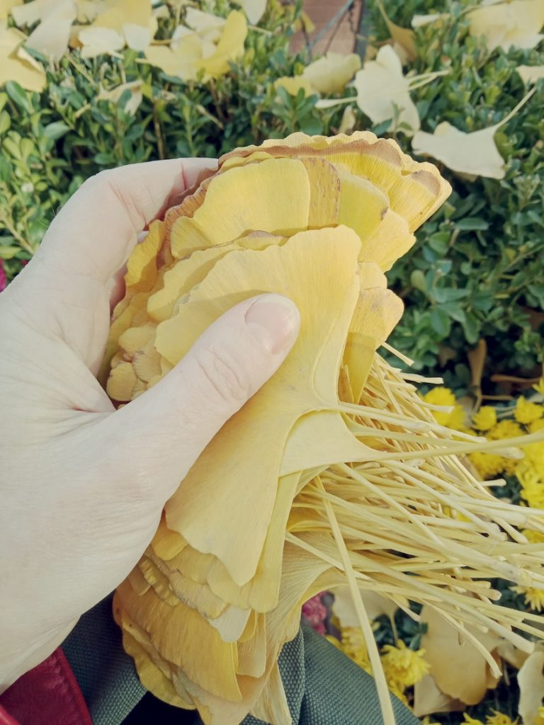 handful of ginkgo leaves