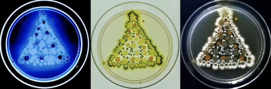 """Lifelights II "" E coli GFP, Kocuria Rosea, White M , on LB under UV"